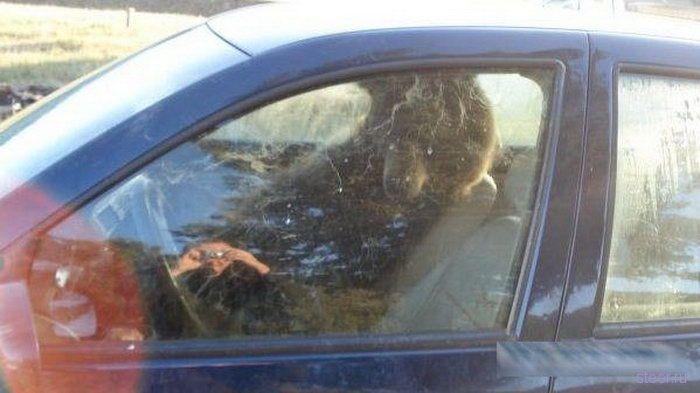 Медведь заперся в машине (фото)
