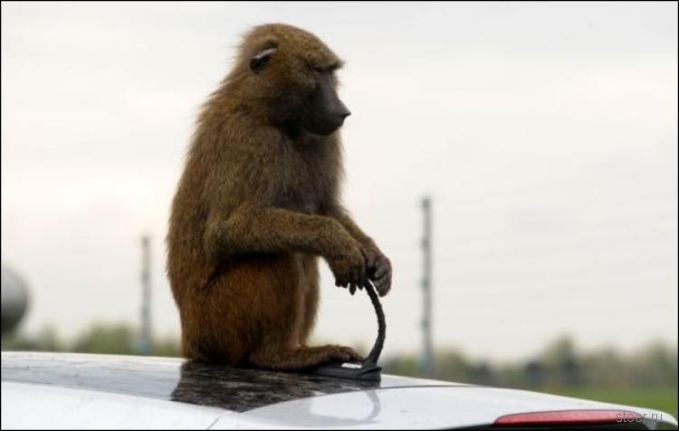 40 бабуинов проверили на прочность семейный хэтчбек Hyundai (фото)