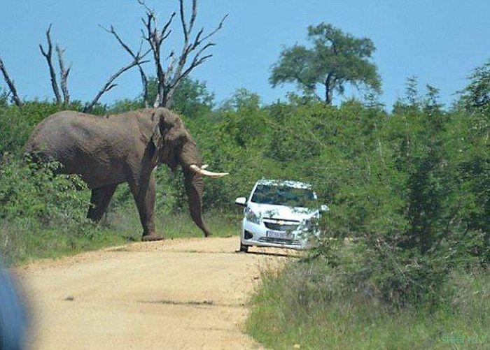 Слон напал на автомобиль в Южной Африке