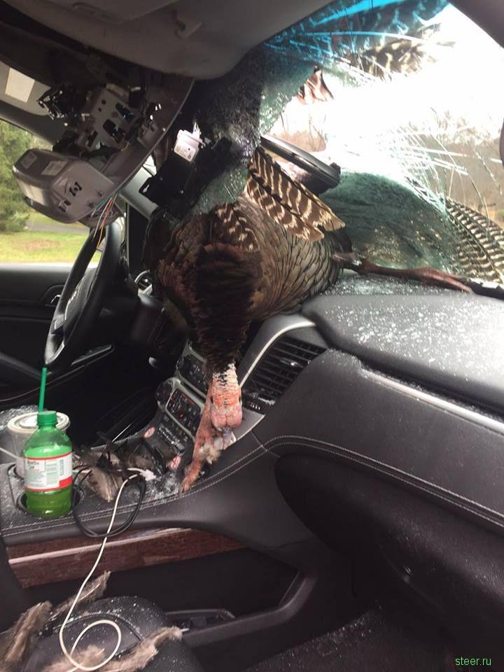 В США индейка весом в  пробила лобовое стекло машины