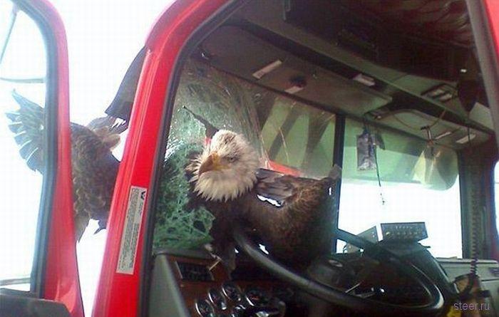 Орел попал в лобовое стекло автомобиля на скорости свыше 100 км/ч (фото)